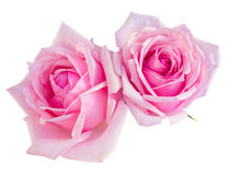 Due rose di fioritura rosa Immagini Stock