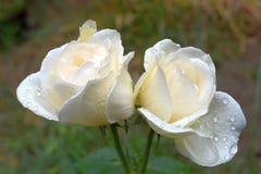 Due rose dopo pioggia Immagini Stock Libere da Diritti