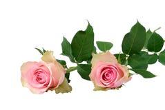 Due rose rosa fotografia stock