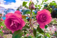 Due rose rosa nel giardino immagini stock