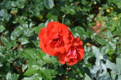 Due rose rosse che fioriscono nel giardino fotografie stock