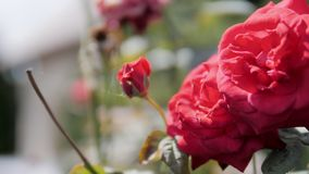 Due rose rosse e Rose Bud con la ragnatela su Bush in giardino in Sunny Summer Day stock footage