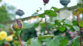 Due rose rosse una di cui è sbocciato ancora e l'altra un germoglio video d archivio