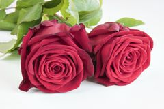 Due rose su bianco fotografia stock
