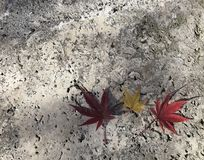 Due rossi e foglie di acero gialle una sul pavimento grigio del cemento Fotografia Stock