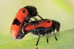 due scarabei arancio stanno facendo sesso fotografia stock