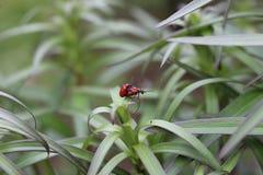 Due scarabei del giglio sul foglio Fotografie Stock