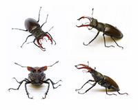Due scarabei di maschio Immagini Stock