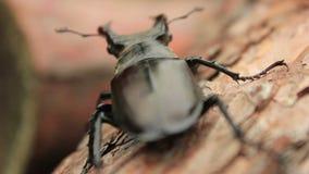 Due scarabei di maschio video d archivio