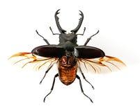 Due scarabei di maschio Fotografie Stock