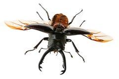 Due scarabei di maschio Fotografia Stock