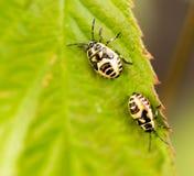 Due scarabei su una foglia verde in natura Immagine Stock Libera da Diritti