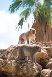 Due scimmie Immagine Stock