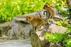 Due scimmie che guardano dalla roccia Immagine Stock