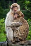 Due scimmie che si abbracciano fotografia stock libera da diritti