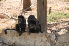 Due scimmie che si siedono su una roccia Immagini Stock Libere da Diritti
