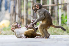 Due scimmie del bambino Fotografia Stock Libera da Diritti