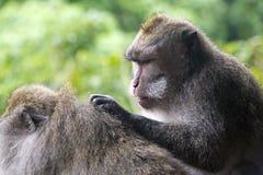 Due scimmie in foresta in Bali Immagini Stock Libere da Diritti