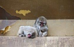 Due scimmie in giardino zoologico Fotografia Stock