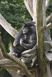 Due scimmie su un albero Immagini Stock