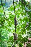 Due scimmie sul ramo di albero Fotografia Stock Libera da Diritti