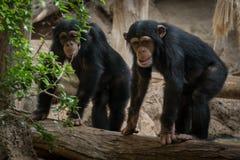 Due scimmie in zoo - due scimmie del chimpanse all'aperto Immagini Stock