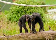Due scimpanzé Fotografia Stock Libera da Diritti