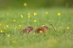 Due scoiattoli fotografie stock libere da diritti
