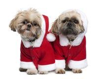 Due Shi-Tzu nei vestiti del Babbo Natale, levantesi in piedi fotografia stock libera da diritti