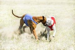 Due Sighthounds su un rivestimento di richiamo che scorre concorrenza immagine stock