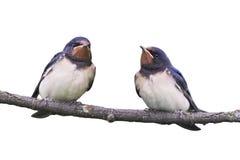Due sorsi di granaio che si siedono su un ramo isolato Fotografia Stock Libera da Diritti