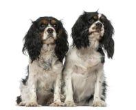 Due Spaniels di re Charles sprezzanti Fotografie Stock