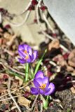 Due Springflowers porpora fotografia stock libera da diritti