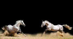 Due stallions Fotografie Stock