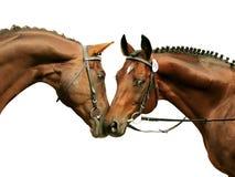Due stallions di razza isolati su bianco Fotografia Stock Libera da Diritti