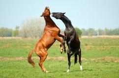 Due Stallions nella lotta Fotografie Stock Libere da Diritti