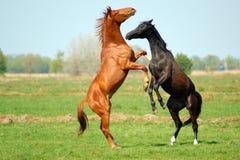 Due Stallions nella lotta Immagine Stock