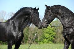 Due stalloni frisoni splendidi che si incontrano Immagini Stock