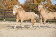 Due stalloni stupefacenti che giocano insieme Fotografia Stock Libera da Diritti
