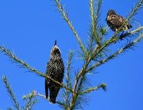 Due starlings fotografia stock