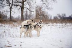Due supporti del husky siberiano a neve Immagine Stock