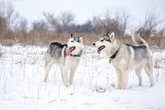Due supporti del husky siberiano a neve Fotografia Stock Libera da Diritti