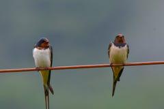 Due swallows su collegare Fotografia Stock