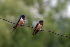 Due swallows su un collegare Fotografia Stock