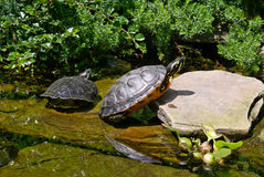 Due tartarughe Immagine Stock
