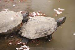 Due tartarughe asiatiche Immagini Stock Libere da Diritti