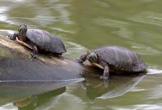 Due tartarughe che espongono al sole su un ceppo Immagine Stock