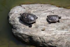 Due tartarughe che ripartono una roccia Fotografie Stock Libere da Diritti