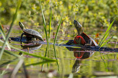 Due tartarughe dipinte su un ceppo Immagini Stock Libere da Diritti
