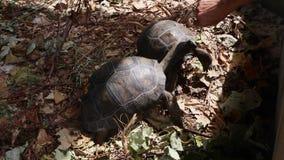 Due tartarughe giganti di 4 anni all'isola di Curieuse, Seychelles archivi video